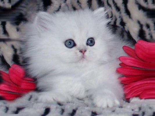 Beautiful White Kitten Among Red With Images Teacup Persian