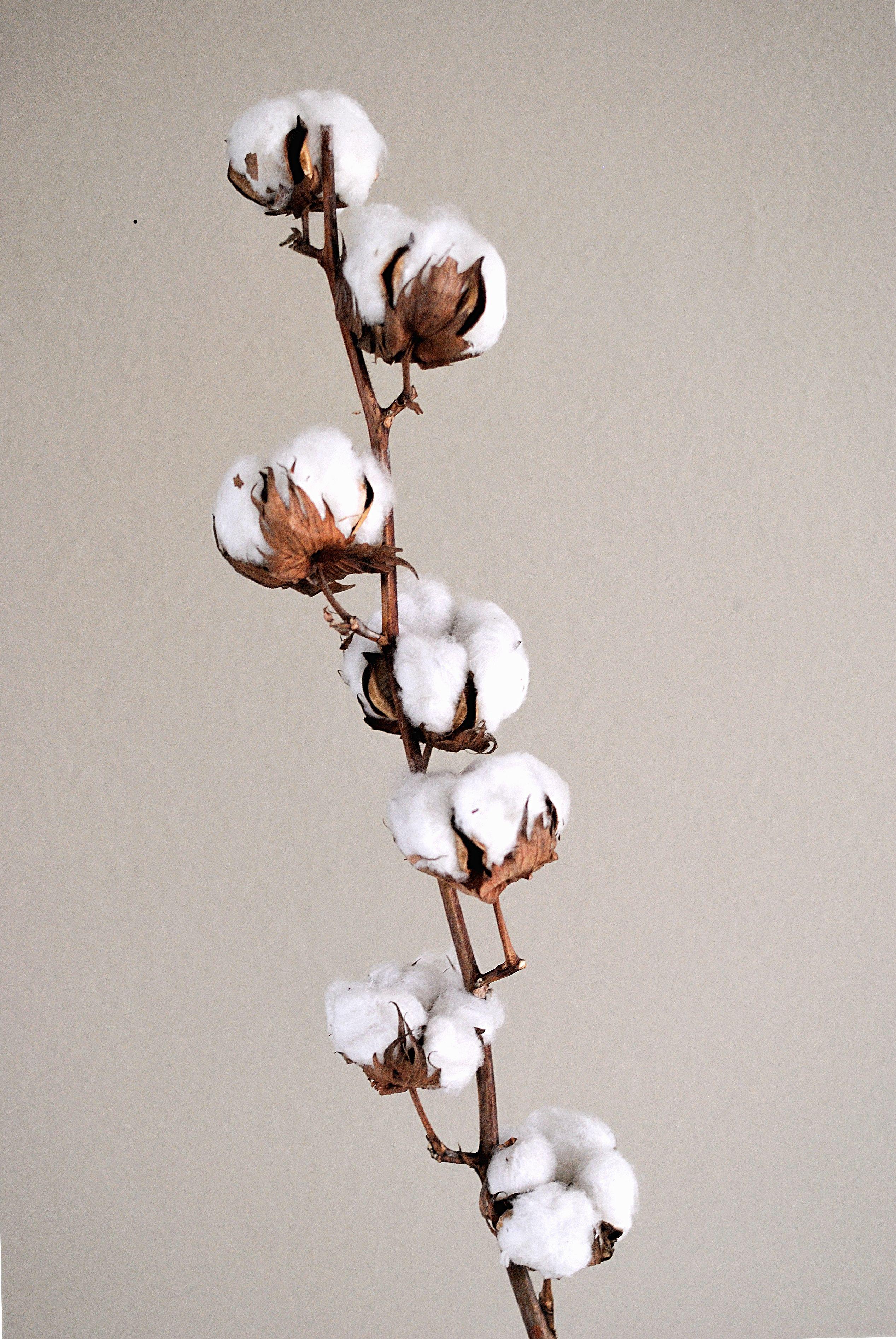 cotton flowers branche de fleurs de coton marine r. Black Bedroom Furniture Sets. Home Design Ideas