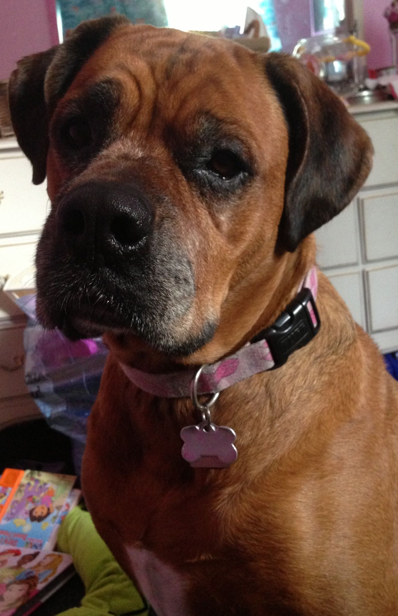 Tara A Boxer Bull Mastiff Mix Biggest Baby Ever Boxer