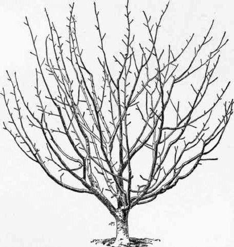 tree bush drawing wiring diagrams