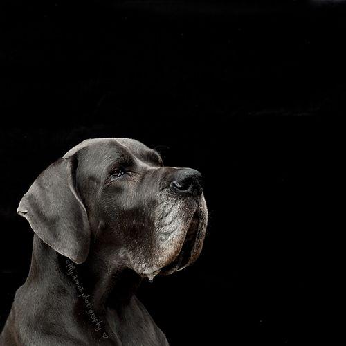 Blue Great Dane On Black Xziva Aenee Dogphotography Great