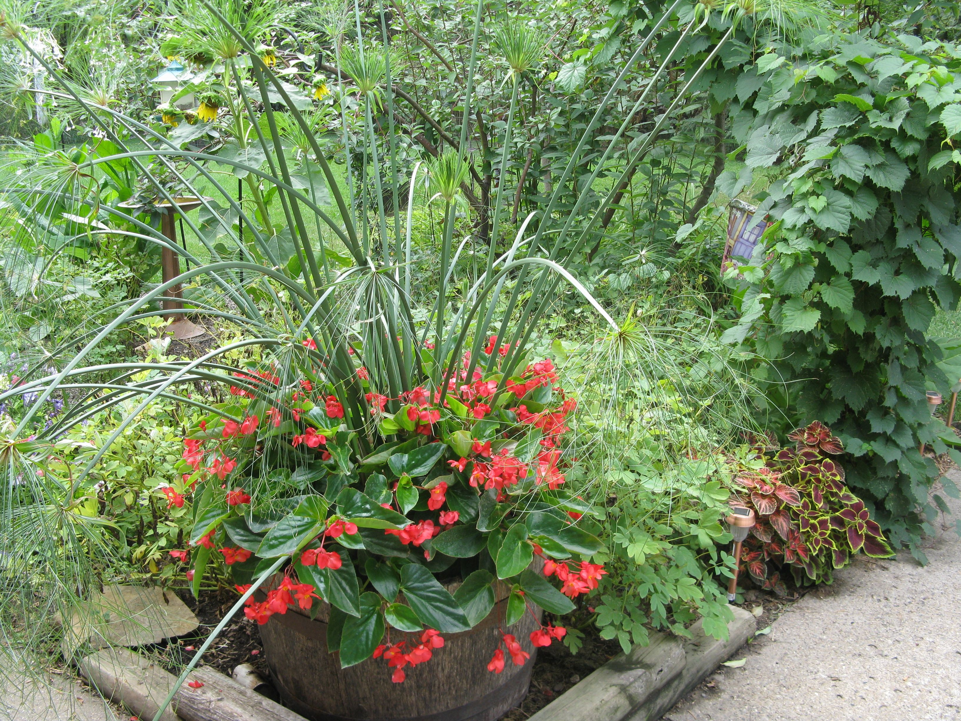 Pin By Faye Atkinson On Awesome Plants Plants Container Gardening Begonia