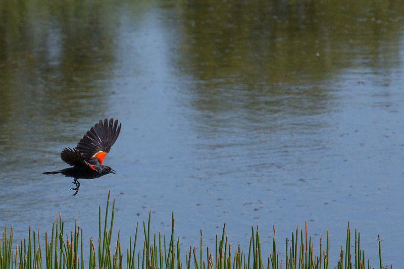 Blackbird Fly. at the Yamato Scrub Natural Area in Boca Raton, Florida. More pics at https://flic.kr/s/aHsjYLZPg5