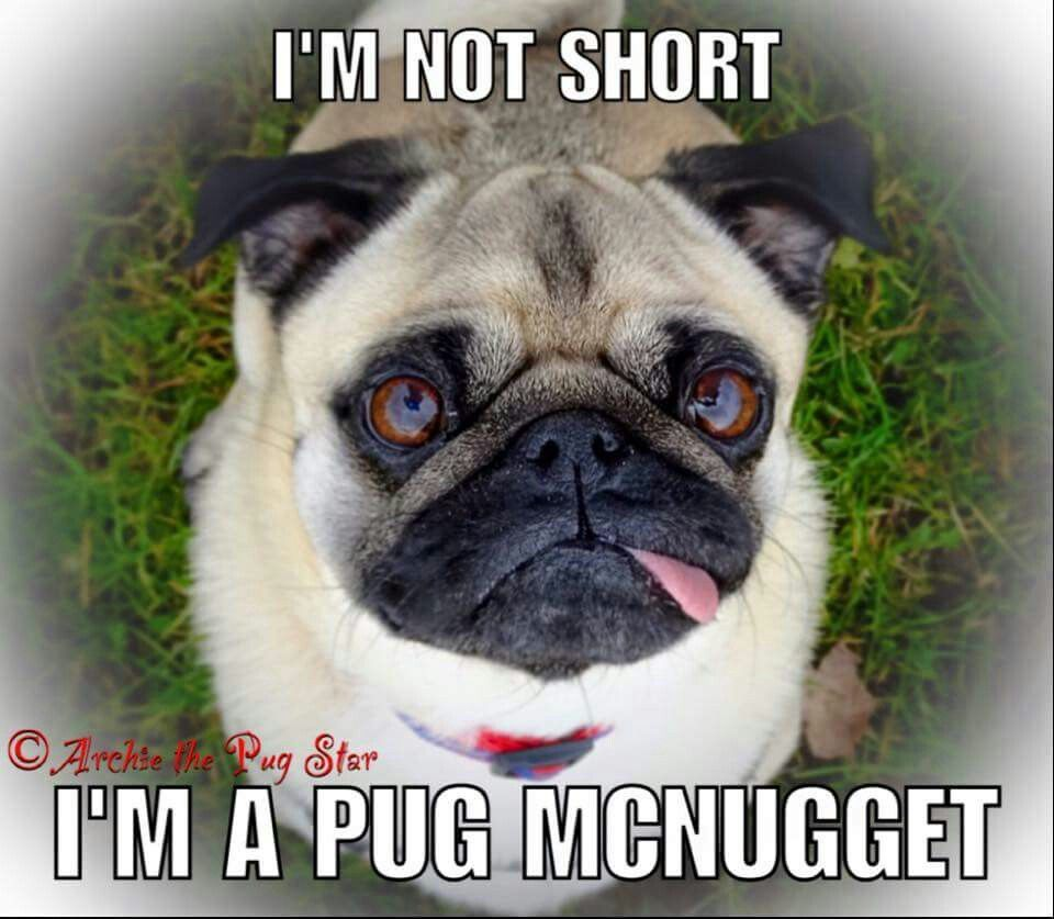 c901797a1 puglife   Pugs and Pups   Black pug puppies, Pug puppies for ...