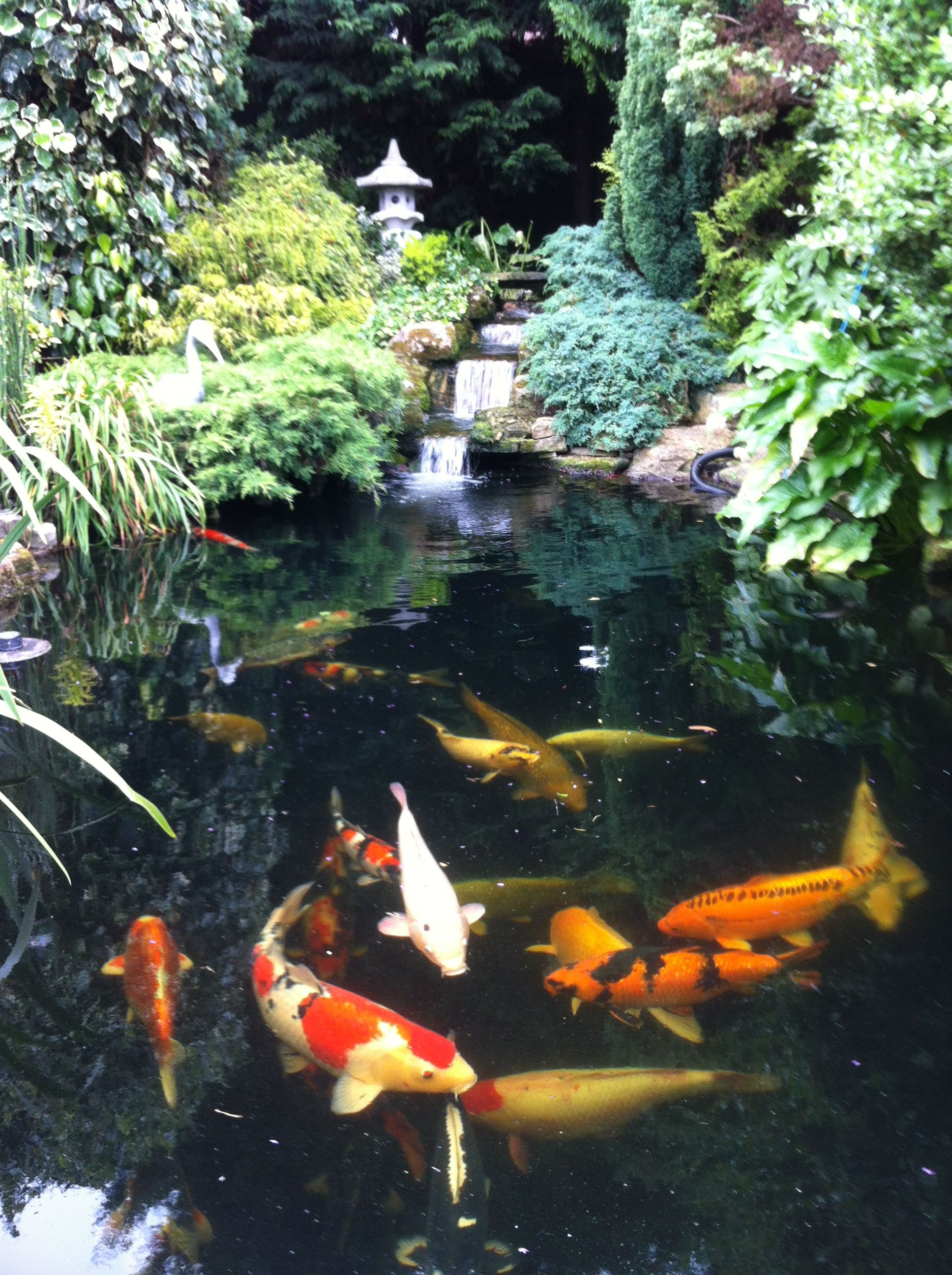 Koi carp pond | บ่อปลา+บ่อน้ำ | Pinterest | Koi carp, Koi and Pond
