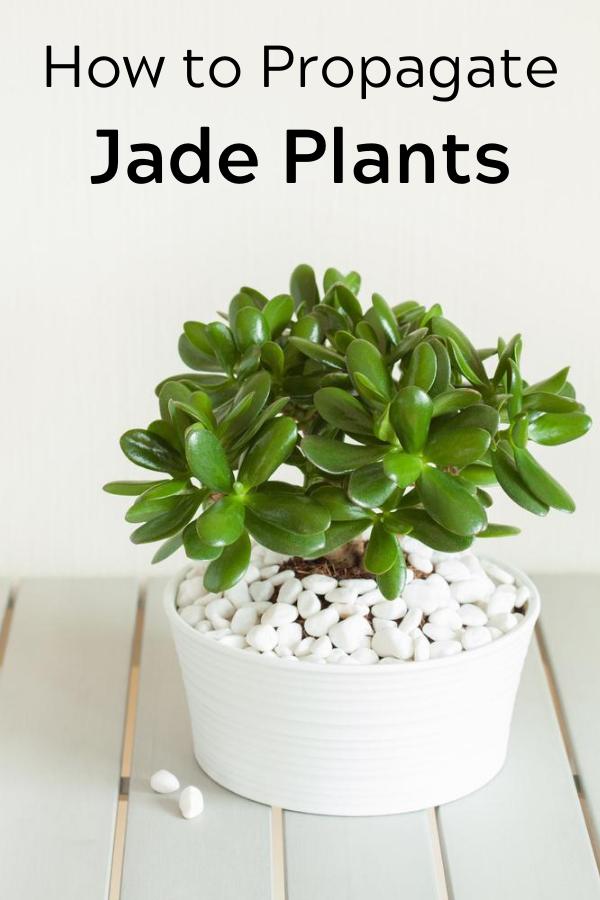 How To Propagate Jade Plants Jade Plants Plants Propagation