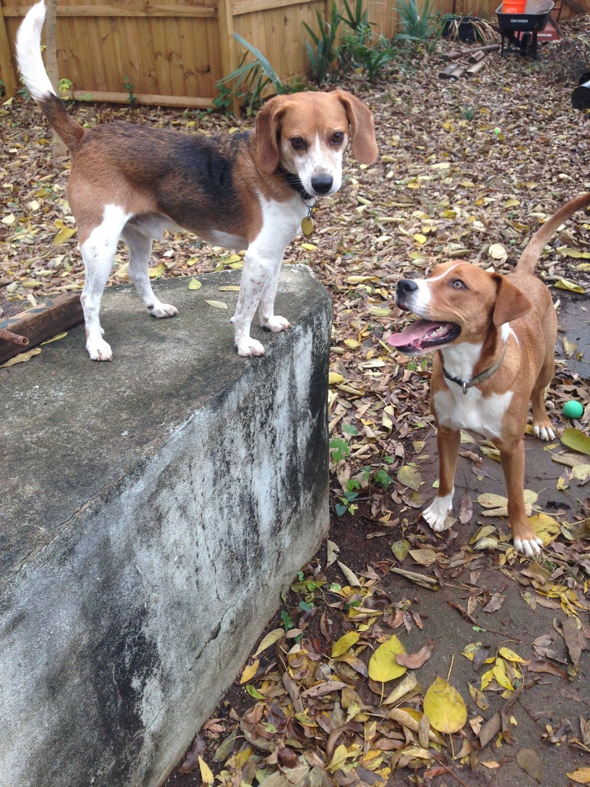 You Bore Me Animals Beautiful Beagle Puppies