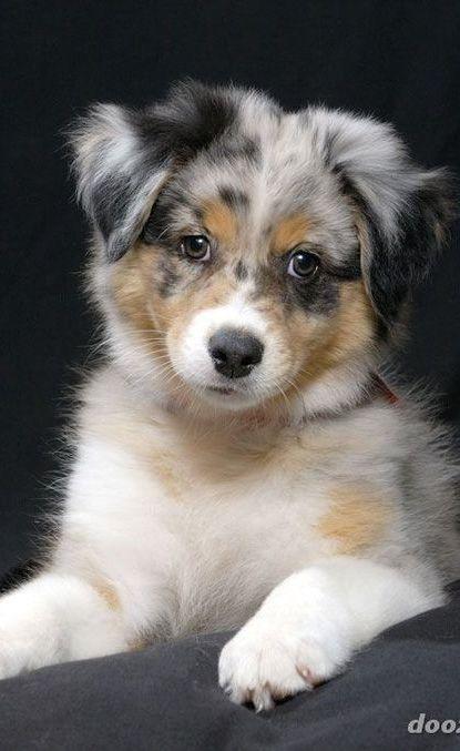 Australian Shepherd Puppy More Chiot Berger Australien Animaux Les Plus Mignons Chien Mignon