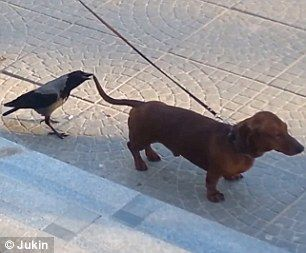 Brave Crow Harasses Dog By Pecking Its Tail In A Series Of Attacks