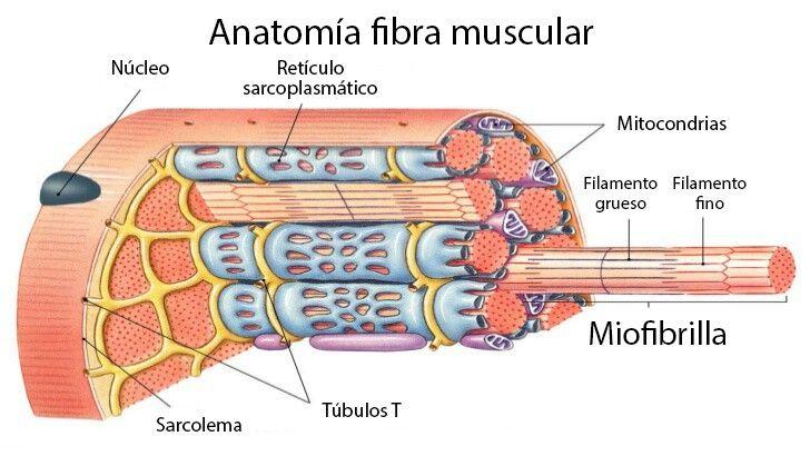 Celula muscular | fonaments biològics CAFEMN 2016 2017 | Pinterest ...