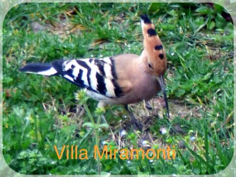 Hoopoe outside our kitchen, March 2016