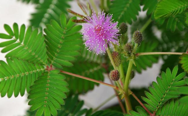 Sensitive (Mimosa pudica), réactive au toucher : culture, entretien, arrosage | Plante mimosa ...