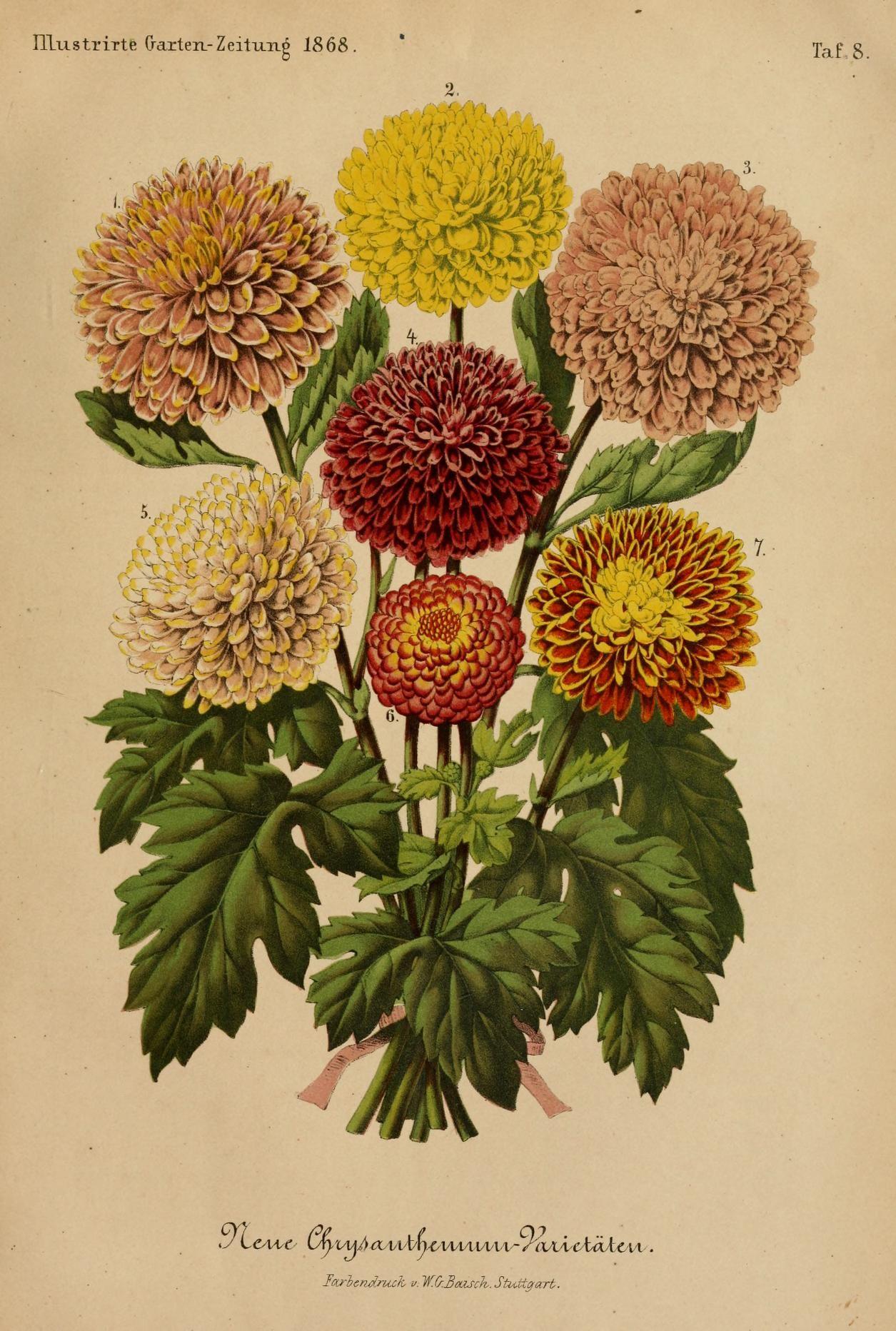 Bd 12 1868 Illustrierte Garten Zeitung Biodiversity Heritage Library Botanical Illustration Biodiversity Garten