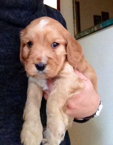 5 Week Old Cockervoodle Cavapoo Puppies Puppies Golden Retriever
