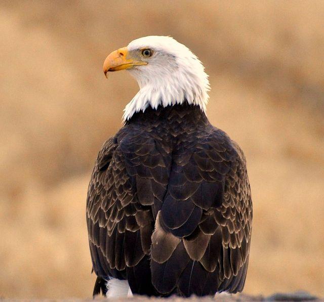 Bald Eagle by Rockyrosa, via Flickr