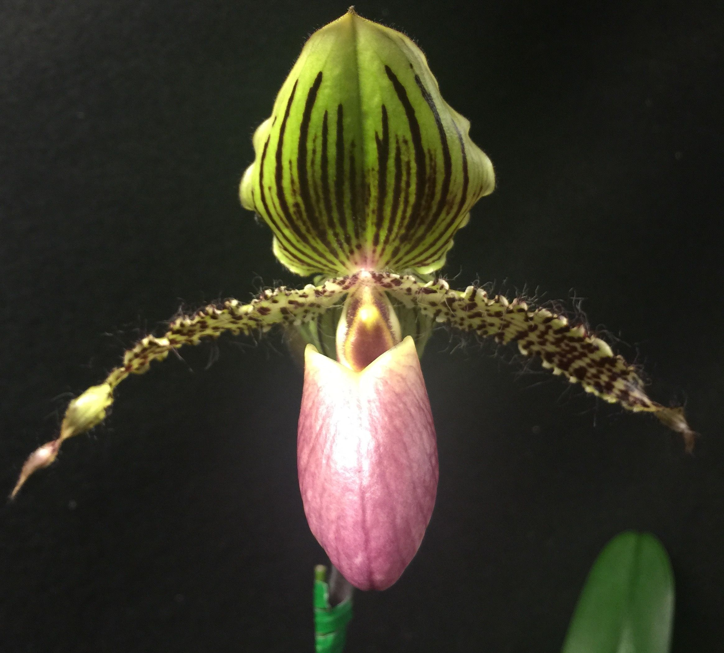 Pin by seattle orchid on slipper orchids pinterest orchid