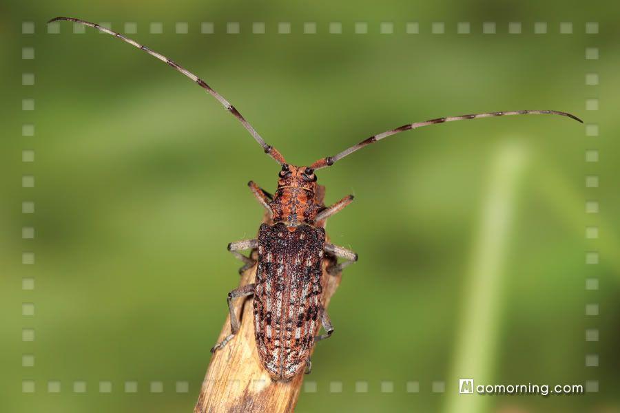 松墨天牛 Monochamus alternatus - 鞘翅目 Coleoptera - HKWildlife.Net Forum 香港自然生態論壇