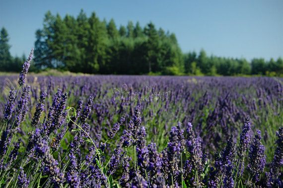 Lavender Field  photograph on lustre paper by AmberVigeantPhoto, $10.00