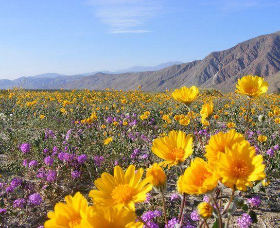 Desert wildflowers desert flowers desert flowers in anza borrego mightylinksfo Images