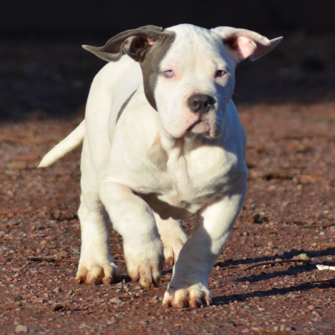 Pitbull Chiot Puppy Puppies Pero Cane American Bully Xl Xxl Bully Pitbull A Vendre For Sale France Belgique Kennel Eleva Bully Dog Bully Pitbull American Bully