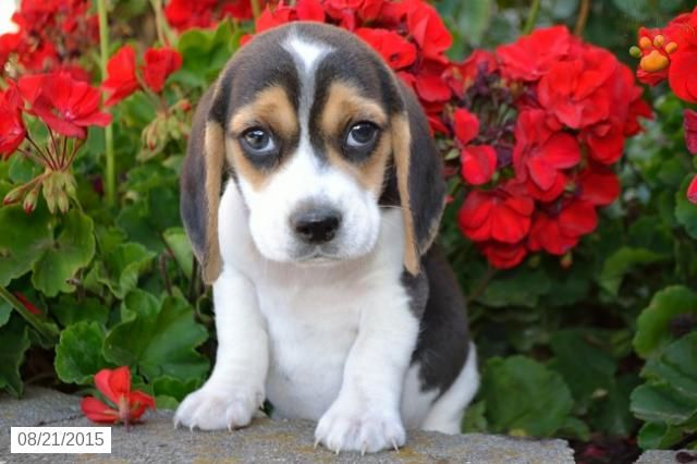 Bowser Beagle Puppy For Sale In Millersburg Oh Beagle Puppy Puppies Puppies For Sale