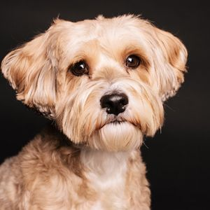 Adopt Hemingway On Terrier Mix Silky Terrier Animal Welfare League