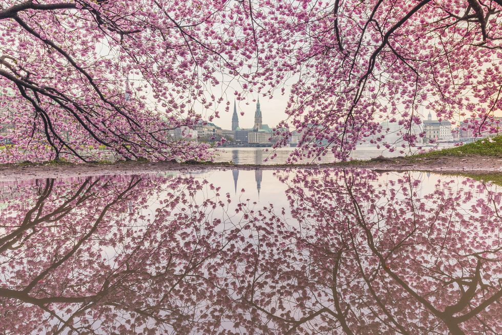Best Cherry Blossom Cities In The World Where To See Cherry Blossoms Blossom House Japanese Cherry Blossom Cherry Blossom