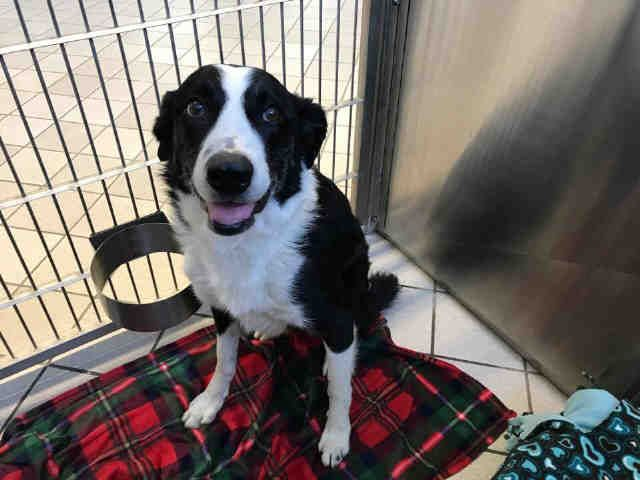 Border Collie Dog For Adoption In Canfield Oh Adn 526903 On