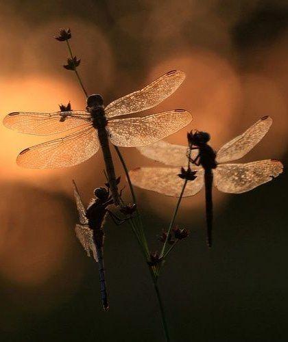 •♥• Dragonflies..~ღஜღ~|cM