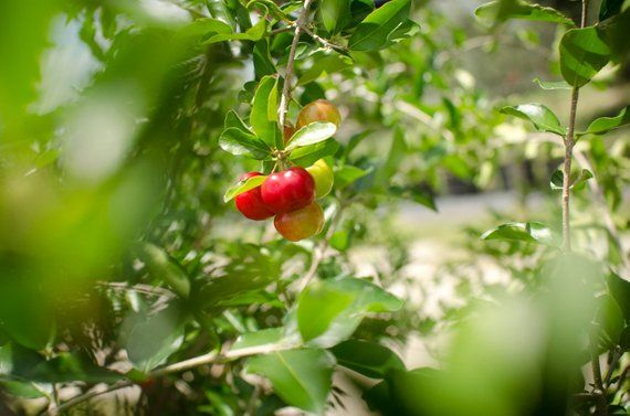 Acerola Cherry Barbados Cherry Plant Free Priority Shipping Etsy Cherry Plant Propagating Plants Acerola Cherry
