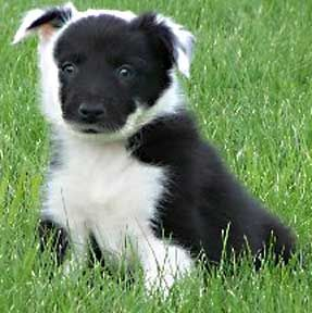 Cutest Border Collie Ever Look At Those Markings Collie