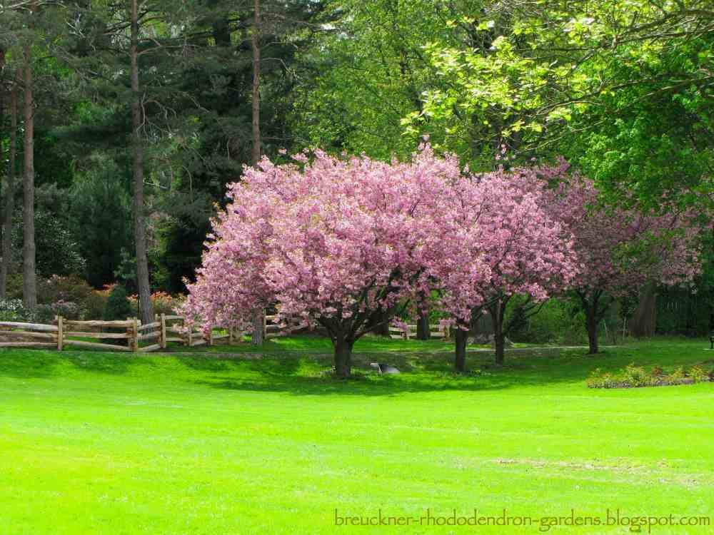 Kawazu Cherry Blossoms Called Kawazu Zakura Ornamental Cherry Ornamental Trees Prunus