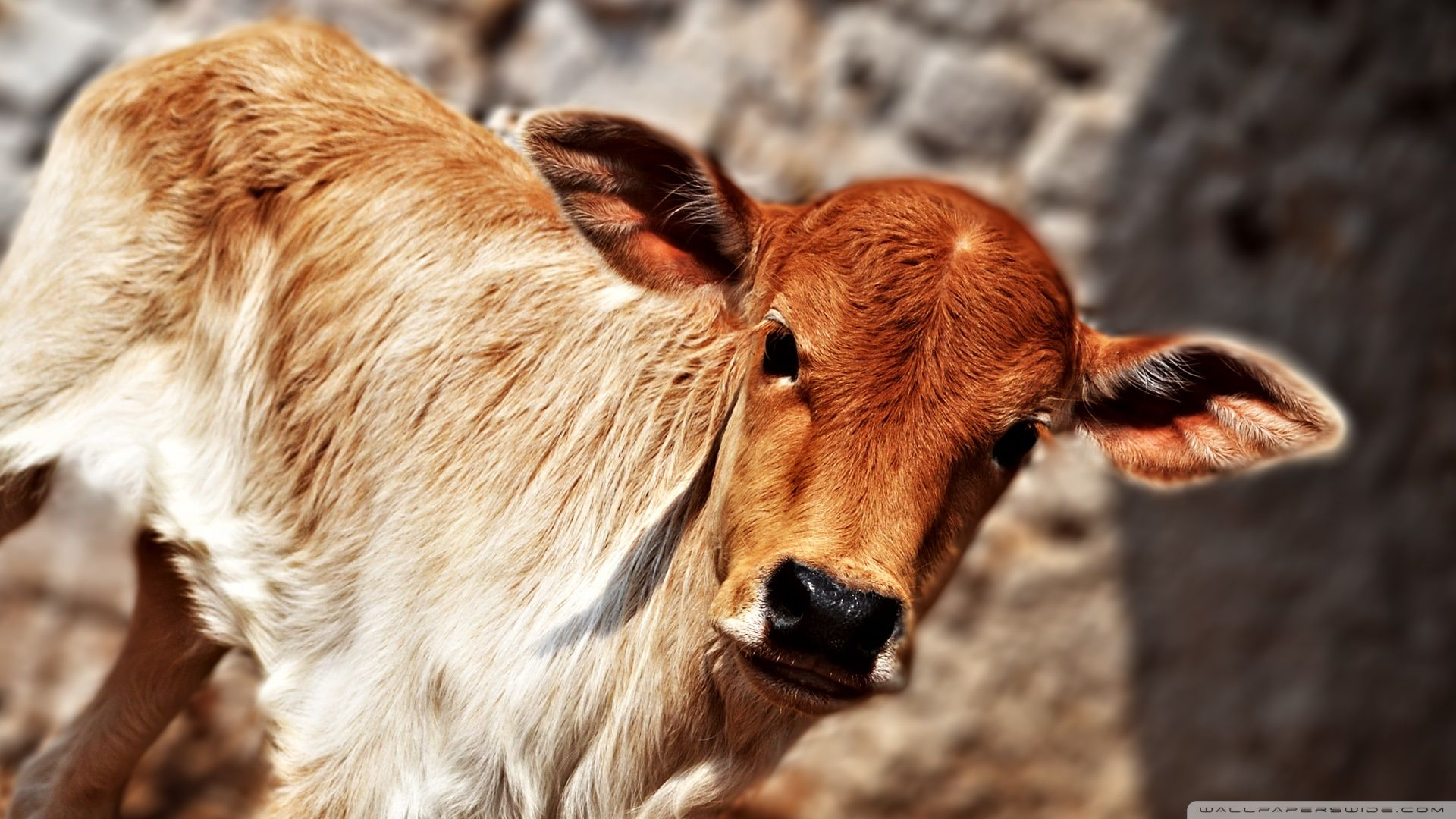 Cows Wallpapers Downloadeer Simply The Best Cute Animals Puppies Cow Wallpaper Cute Animals With Funny Captions