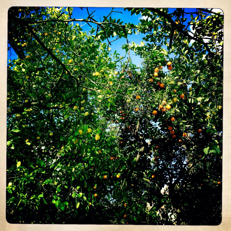naranjas, limones y pomelos