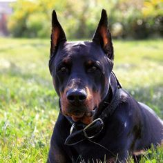 Snarling Doberman 1000 Images About Doberman On Pinterest