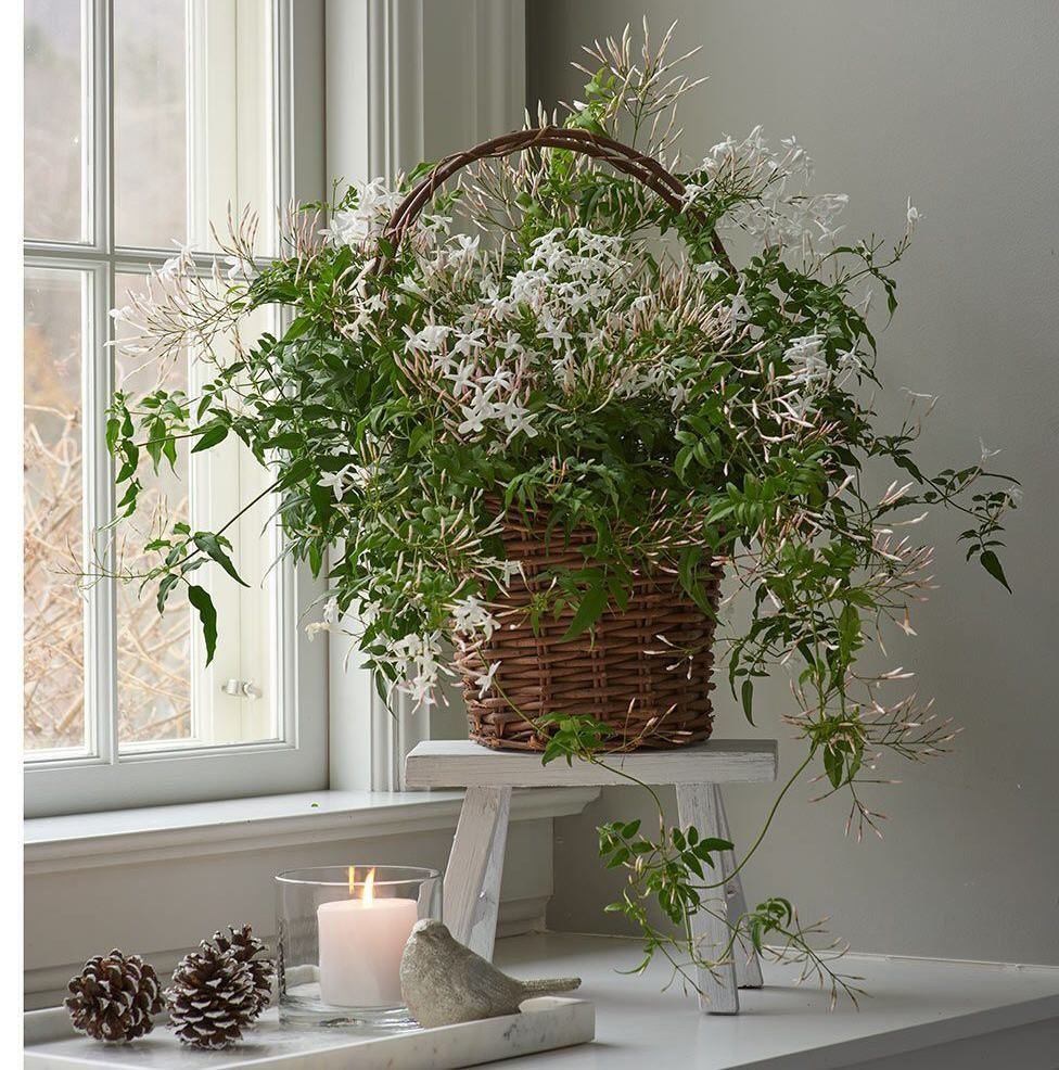 Freshen Up Your Home With Fragrant Indoor Plants Jasmine