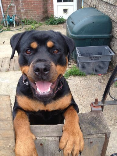 Bessie 20 Month Old Female Rottweiler Available For Adoption