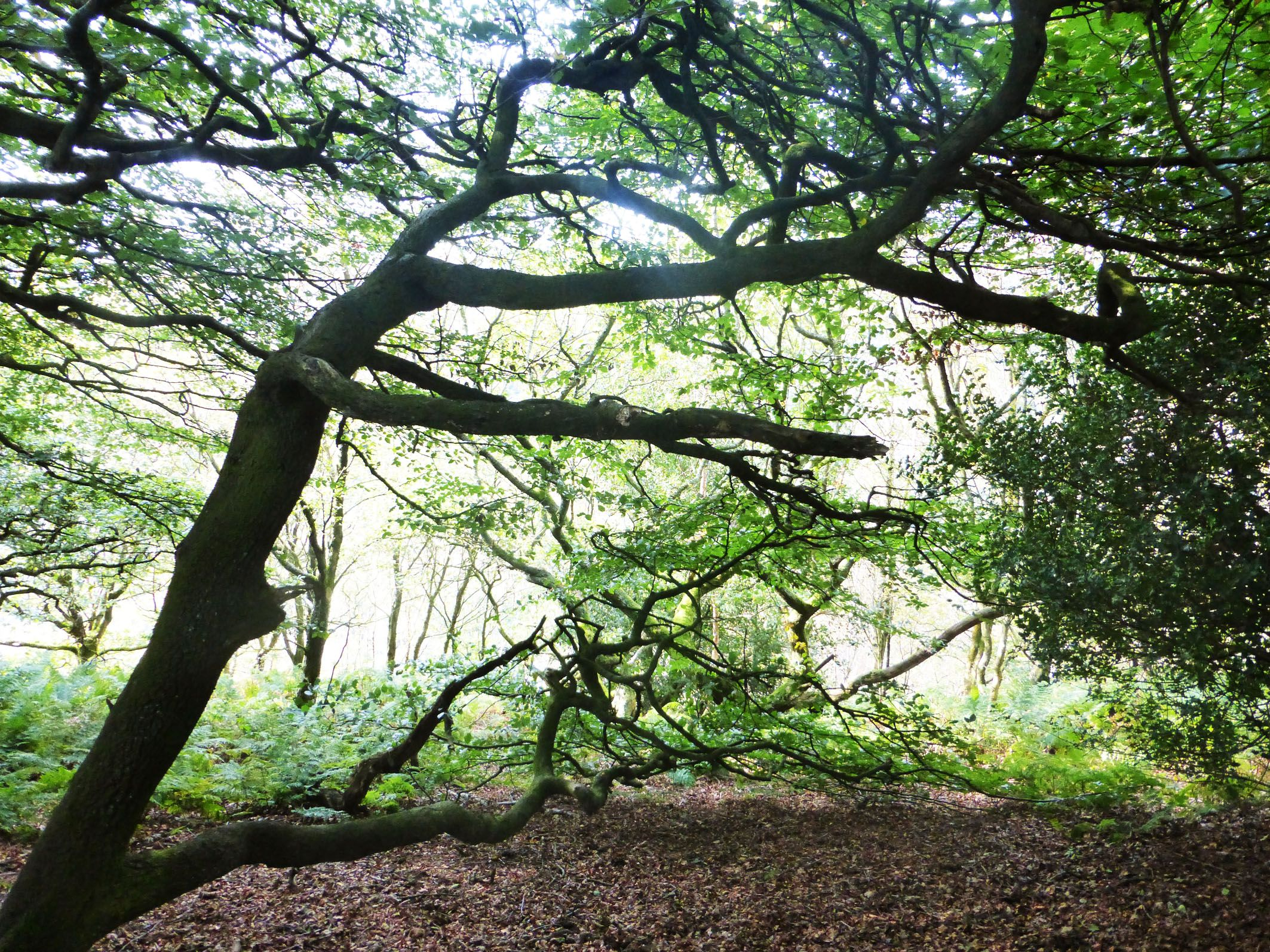 Twisted Trees, Horsehold Woods, autumn 2014