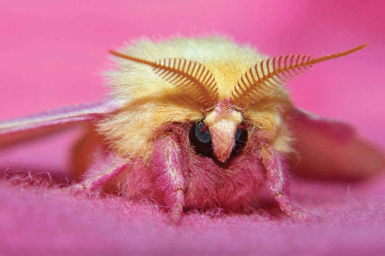 Rosige Ahorn Motte Reptilien Und Amphibien Insekten Naturfotos