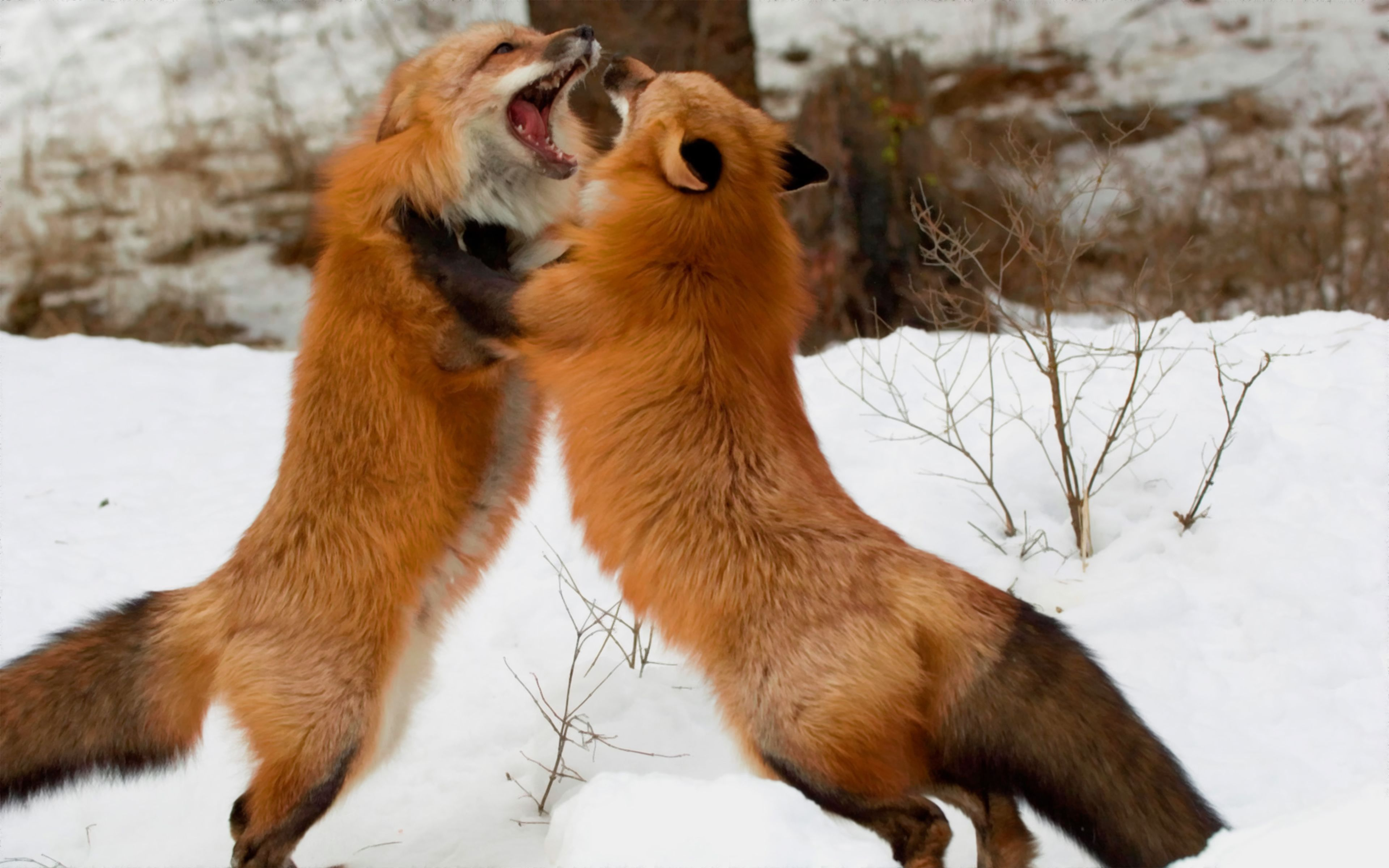Red foxes montana wide wallpaper download Animals wild