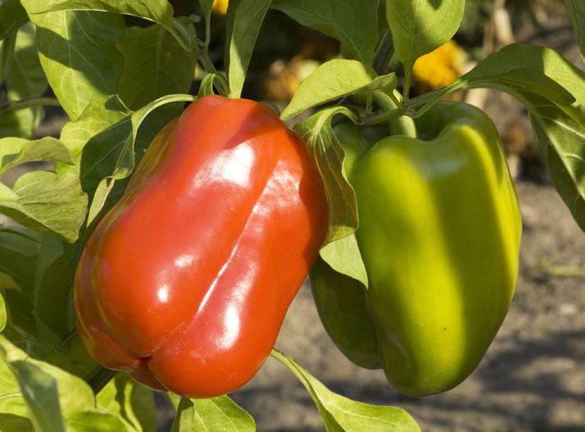 Taillez les poivrons au potager pour de plus gros fruits | Potager, Potager tomates et Jardin ...