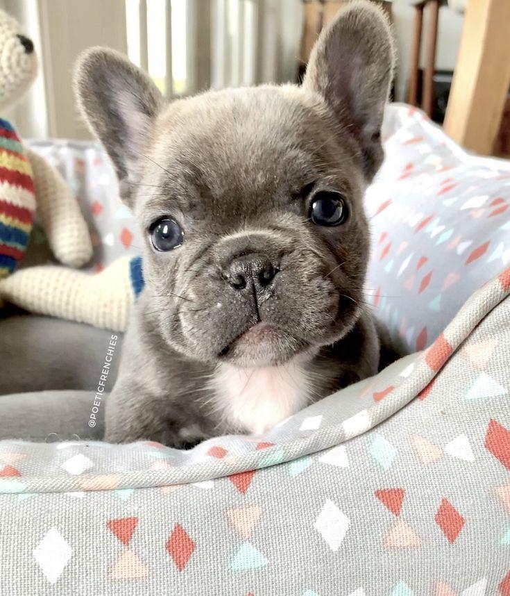 Babyanimals B A B Y A N I M A L S Bulldog Puppies