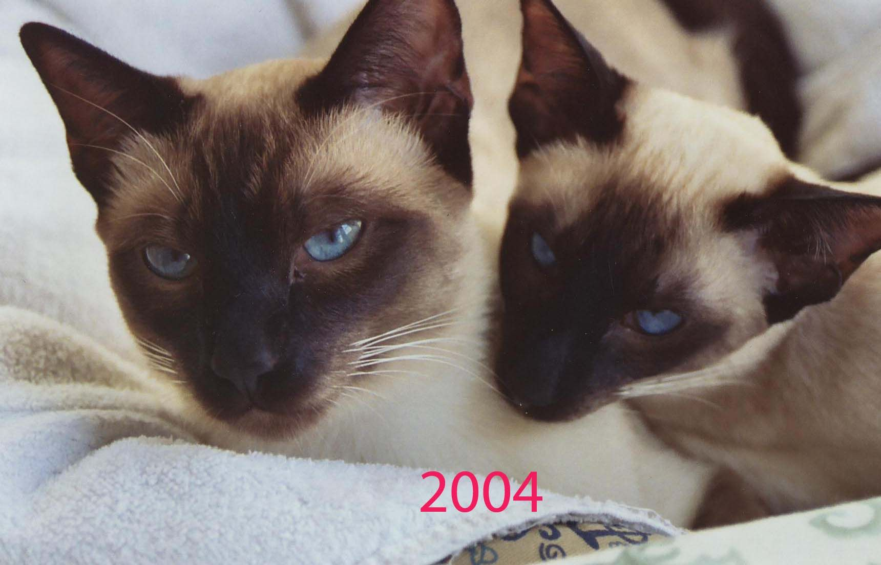 Comparison Of Traditional Apple Head And Today S Pointy Face Siamese They Don T Know They Aren T From The Same Litter Though Siamese Cats Siamese Cats