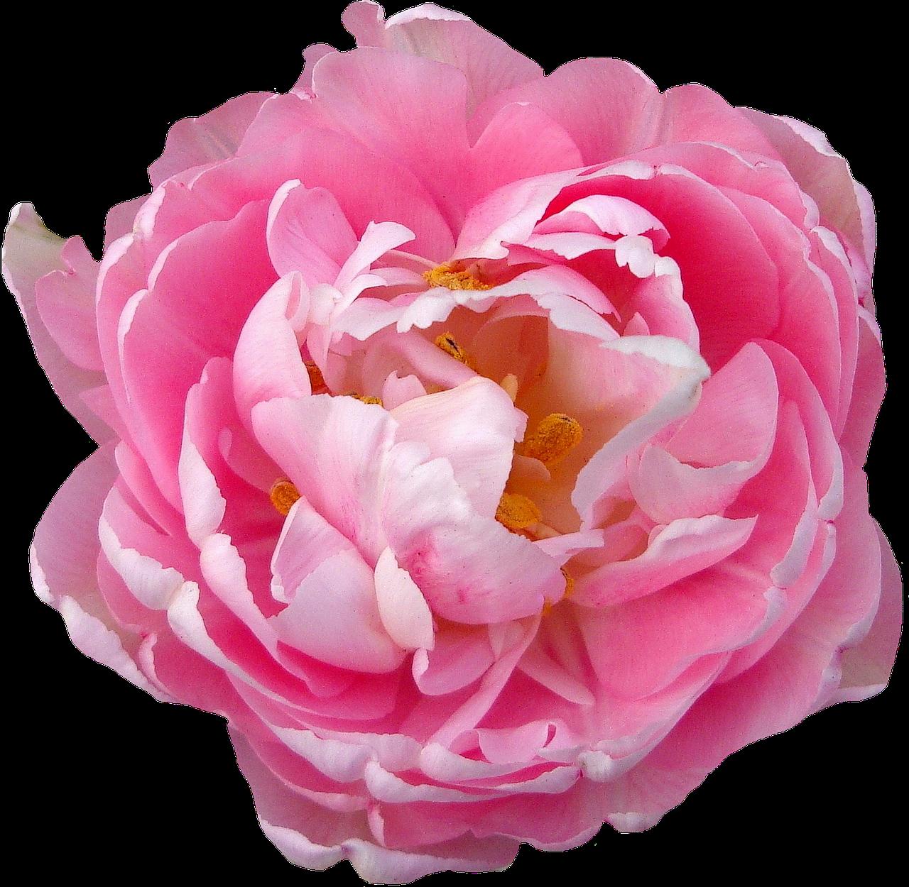 Free Image on Pixabay - Rose, Pink, Blossom, Bloom, Flower   Flower illustration, Flowers ...