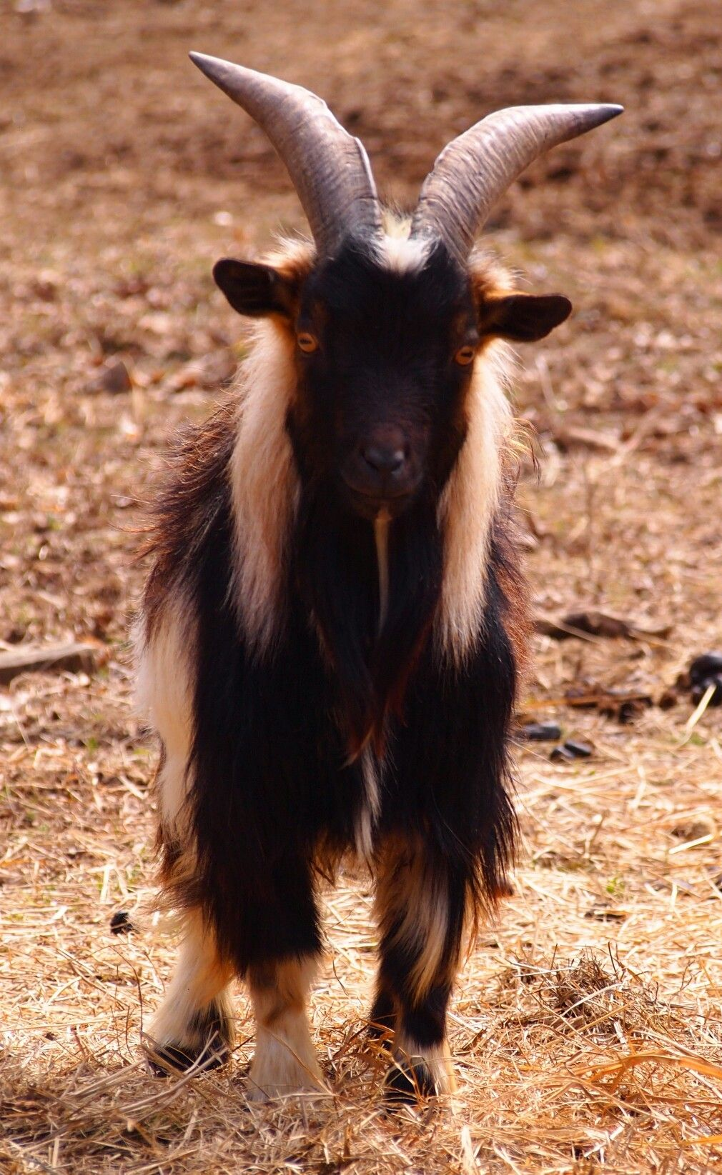 Nigerian Dwarf Billy Capricious Caprines Cute Goats