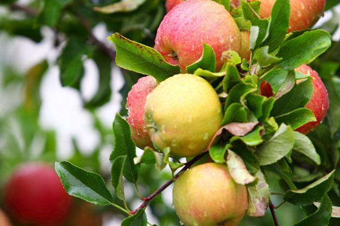 Fruit Citrus Fertiliser Basics Scotts Australia Gala Apples Fruit Citrus Trees