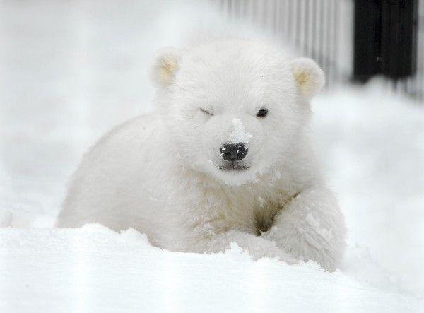 Winking baby polar bear.