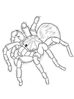 Goliath Tarantula Coloring Page Super Coloring Animal Coloring Pages Coloring Pages Tarantula Drawing