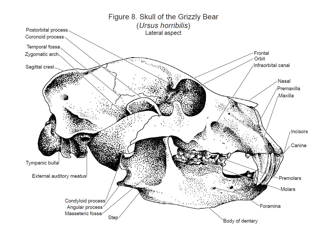 Mammal Skull Diagram Blank - Circuit Connection Diagram •