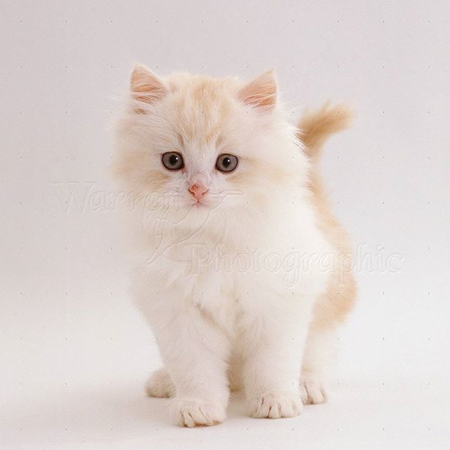 Cute little white kitten looking at you. . .